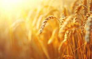 Україна стала основним постачальником пшениці до ЄС
