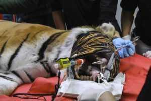 Тигру стоматологи зробили золоті зуби