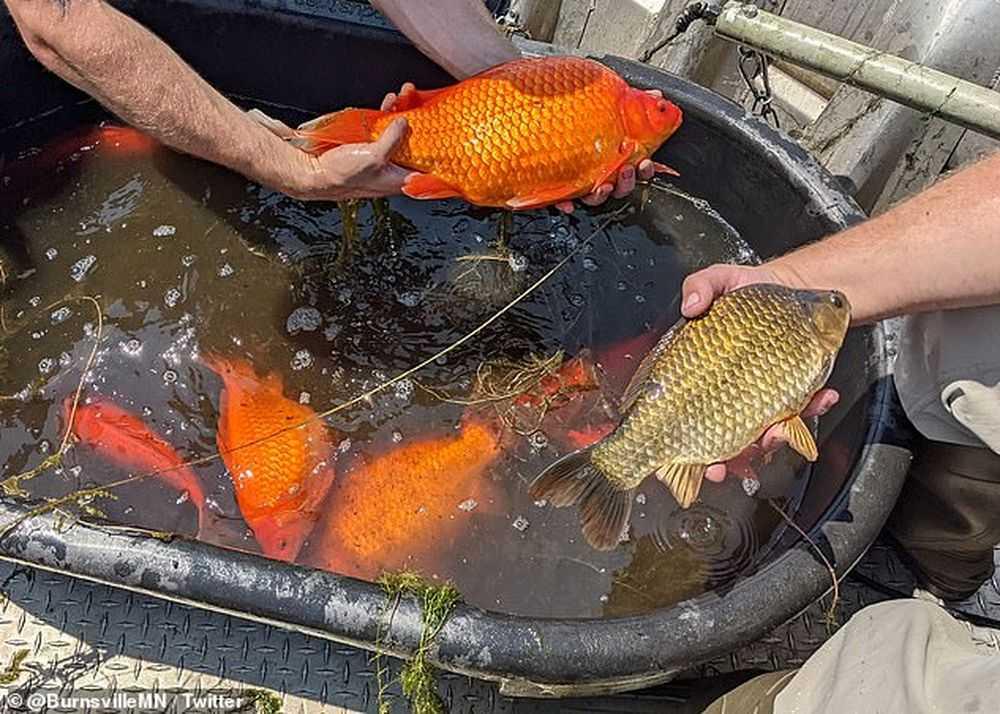The Daily Mail: В нескольких озерах США расплодились золотые рыбки размером с футбольный мяч
